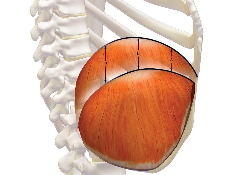 Antonio pacella il movimento del diaframma for Dolore schiena lato destro alto